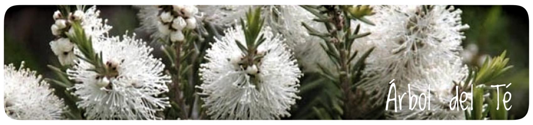 árbol del té,piojos,hongos,acné,insectos,herpes,liendres,herbolario online, cosmética natural, tratamientos naturales, productos naturales
