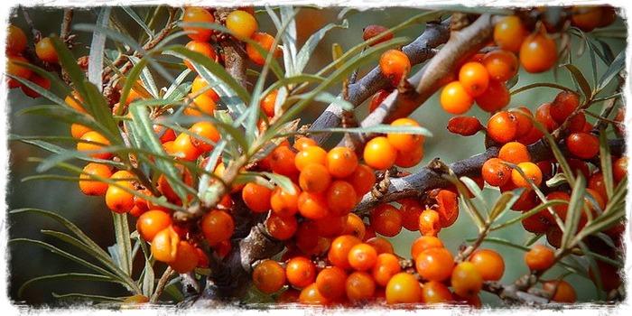 omega 7,espino amarillo, vitamina c, salud de la piel,ictus,mucosas,antienvejecimiento,herbolario online, cosmética natural, tratamientos naturales, productos naturales