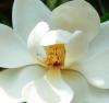 Magnolia, para el estrés y la depresión
